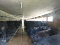 Herens Cattle Ready for Milking